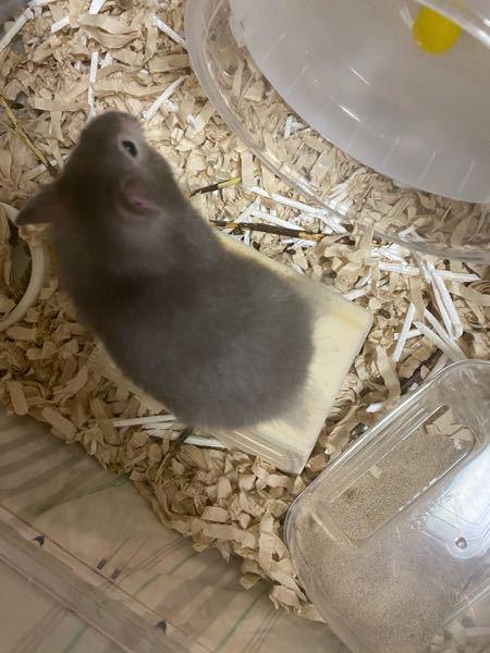 生後約2ヶ月のゴールデンハムスターなのですが、飼い始めた時よりおしりの毛が伸びてきたように感じます。 毛ってこれぐらい伸びるものなんですか??
