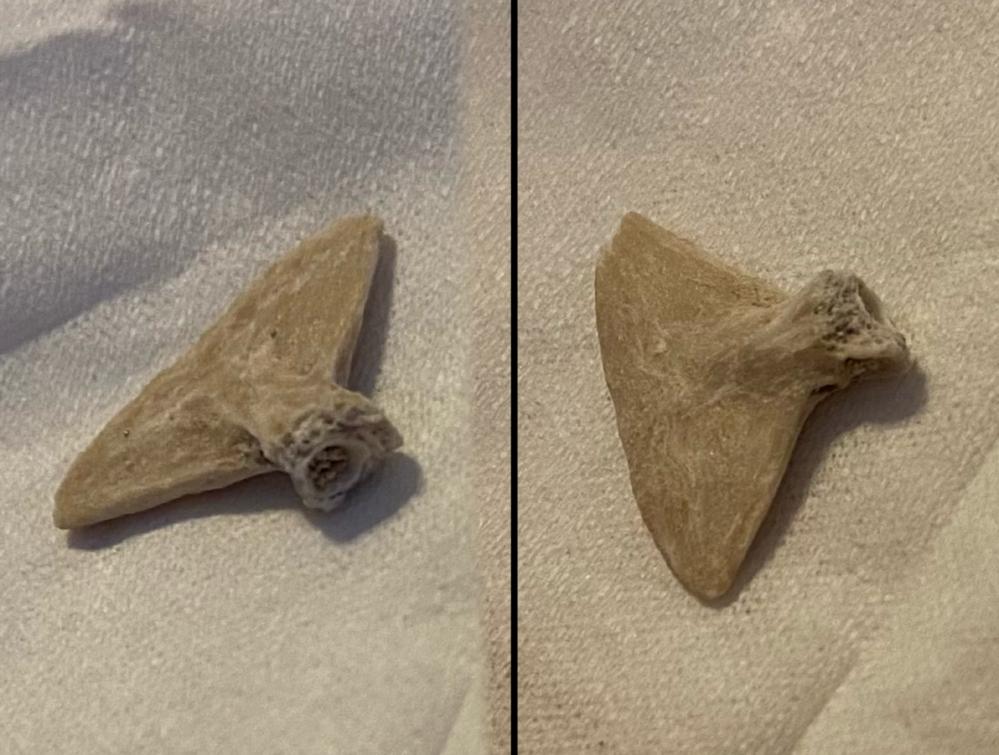 自分は趣味で化石を集めているのですが、先日、欠けたりサイズが小さかったりと、 単体で商品にするには向かない化石を安価で大量に買いました。その中に自分では判断のつかないものが含まれていました。 買った化石群の内訳は殆どがオトドゥスとエイだったので、魚類系の一部だとは思うのですが、何か全く分かりません。一体これはどの部位の化石でしょうか。 サイズは三角形の長い辺が15mmほどです。 よろしくお願いします。