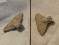 自分は趣味で化石を集めているのですが、先日、欠けたりサイズが小さかったりと、 単体で商品にするには向かない化石を安価で大量に買いました。その中に自分では判断のつかないものが含まれていました。  買った化石群の内訳は殆どがオトドゥスとエイだったので、魚類系の一部だとは思うのですが、何か全く分かりません。一体これはどの部位の化石でしょうか。  サイズは三角形の長い辺が15mmほどです。...