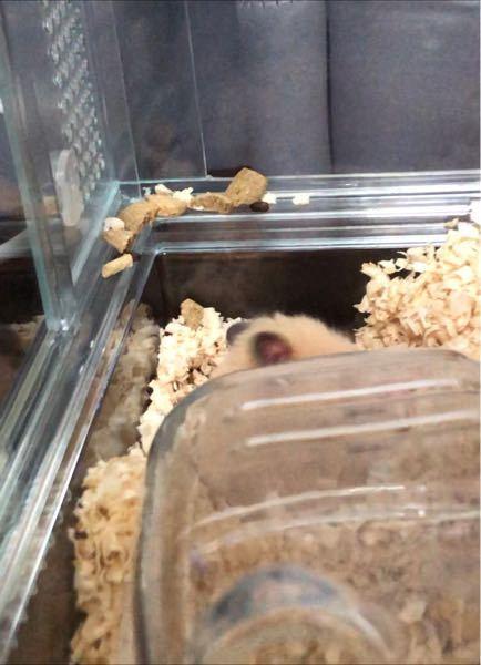 生後2ヶ月弱のキンクマハムスターについて質問です。 ハムスターがケージの隅の出っ張り部分に、このように餌やフンを並べていました。 何か意味があるのでしょうか? また、木製の巣箱を入れてありますがあまり使わず、このようにケージの隅で寝ていることがほとんどです。 巣箱を使わなくても問題ないのでしょうか? 元々あったトイレを自力でどかし(写真手前に映っています)、そこへ餌を持ち帰ったり寝床にしているようで、並べているのもその近くです。 可愛らしい寝姿が見られるのは嬉しいのですが、気になったので質問させていただきました。よろしくお願い致します。