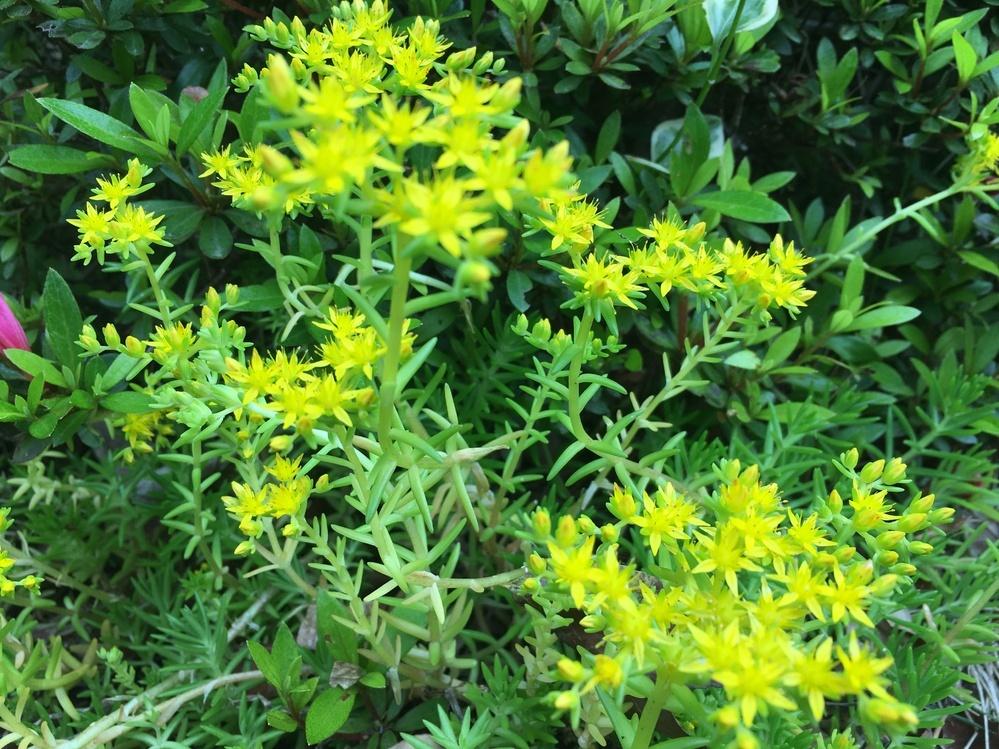 この黄色い花の名前を教えてください。 可愛いけど、ワサワサ増えています。