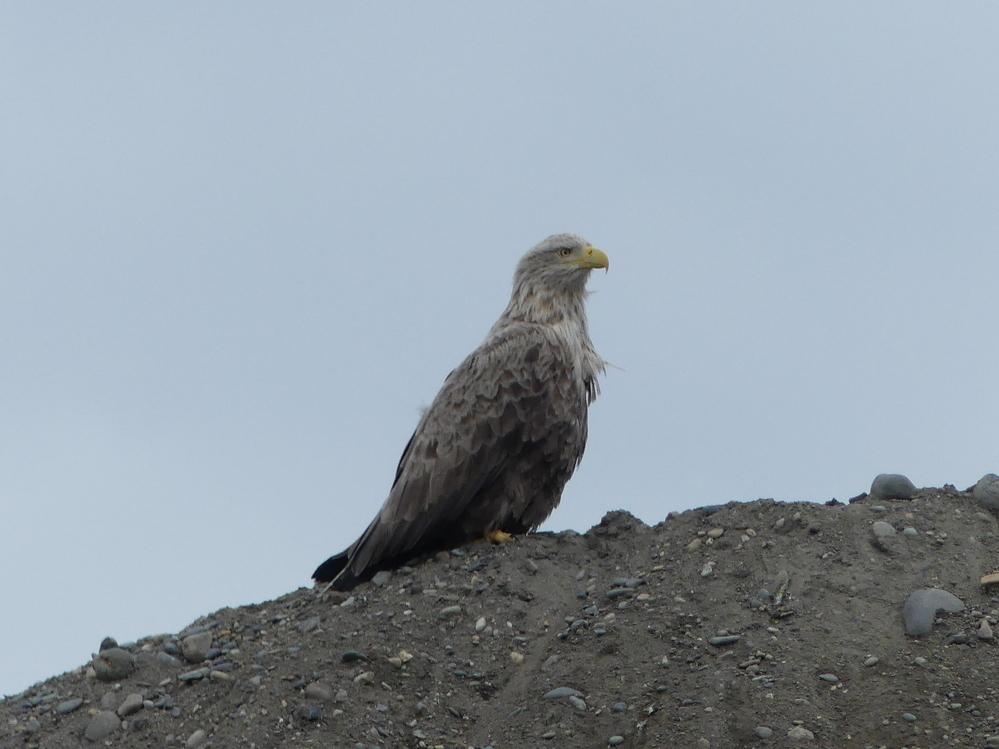 これは何の鳥ですか?? 結構大きいです。
