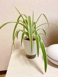 この観葉植物の名前わかる方教えてください