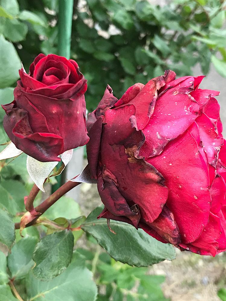 病名を教えて下さい。 つるクリストファーストーンに病気が出てしまいました。外側の花びらは乾燥したような感じで瑞々しさがなく、開ききるものと蕾のまま枯れてしまうものがあります。 効果のある薬剤も教えていただけるとうれしいです。よろしくお願いします。