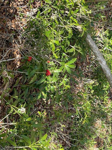 ミヤマシキミかと思ったんですけど、ミヤマシキミの実って11月なんですね… じゃあこれ何の葉っぱなんだろ…