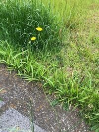 この黄色い花はたんぽぽですか??