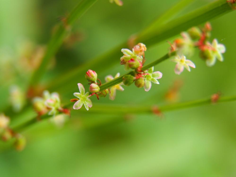 荒川河川敷で見かけた小さな小さな花(?)です。 おわかりになる方、教えてください。 よろしくお願いします。