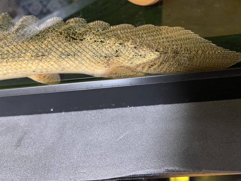 ポリプテルス 病気について ポリプテルス コリバを飼育しているのですが、画像の感じですと尾ぐされ病でしょうか? 少し赤くなってる様な感じもするのですが、気のせいでしょうか。 古代魚ということも...