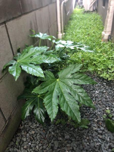 実家に生えてたのですが、これは何という植物でしょうか? 分かる方、ぜひ教えてください。