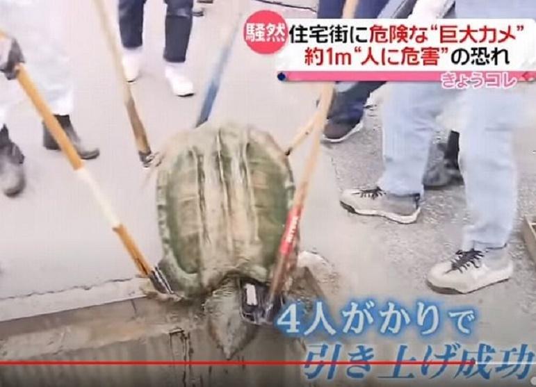 """ワニガメにお詳しい方へお伺いをいたします。 ・ ワニガメは、野生だと画像のように体長1米ぐらいになるものなのでしょうか。 いかがでしょうか。 ・ ・ ■ 住宅街騒然…体長1mの危険な""""巨大カメ""""見つかる 大阪・藤井寺(2021年5月7日放送「news every.」より) ・ https://www.youtube.com/watch?v=kfLU1UvT7eY"""