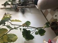 このウンベラータは根腐れしていますか? また、植物の根腐れはどうやって判断するのでしょうか。 根腐れ初期の対処法も教えて頂きたいです。