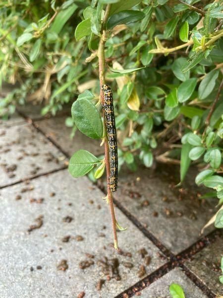 コトネアスターに謎の虫が大量に発生しました。 この虫の名前を知っている方、教えて下さい。 宜しくお願い致します。