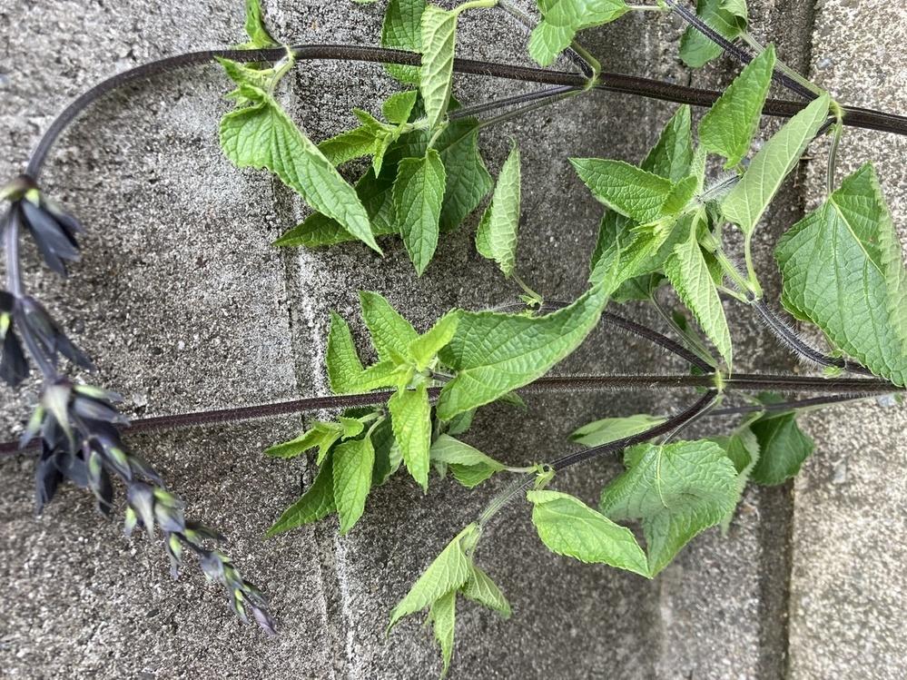 この植物は何でしょうか? 気がついたら庭に生えていました。 千切るとミントの匂いがしますが、いわゆるミントより葉っぱが随分大きく、5cm以上のはっぱもあります。 背丈は100cmほどになっていました。 食用やお茶などにできるのでしょうか?