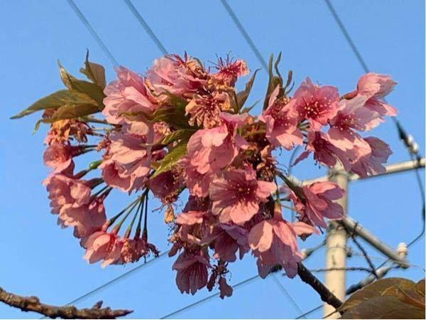 これは何桜ですか?