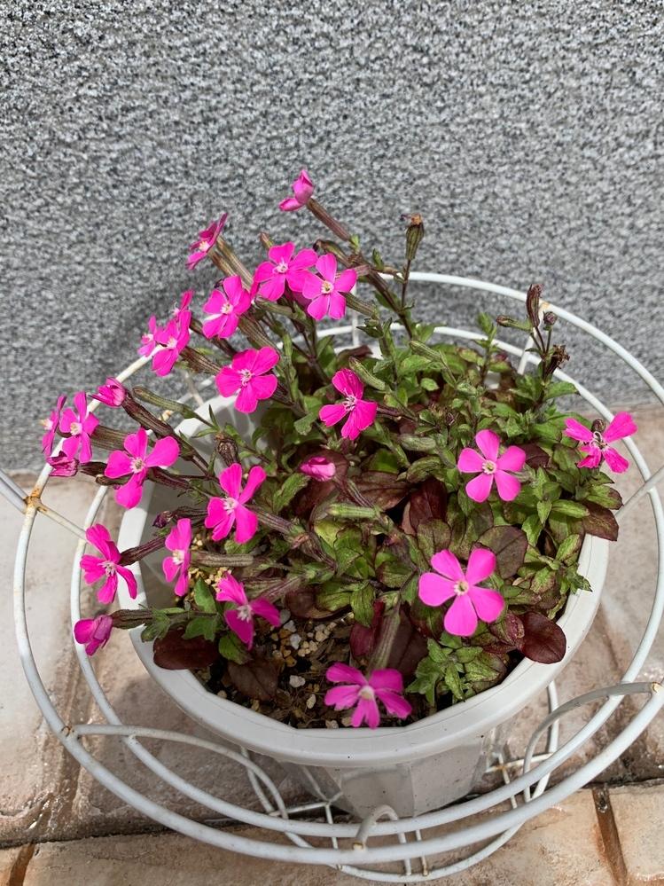 この花の名前を教えてください。 実家の花壇に毎年咲き、芝桜だと思っていたのですが、葉っぱの形が違うように見えます。 また、芝桜は種ができにくいと聞いたのですが、この花は種がたくさん取れて、その種から増やせます。 どなたかわかる方、お知恵をお貸しください。