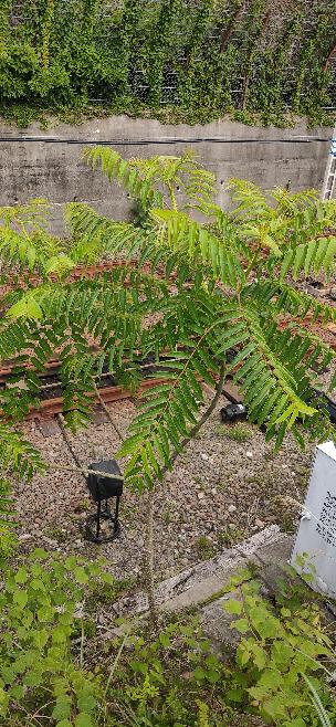 この木はタラの木で間違いないでしょうか?