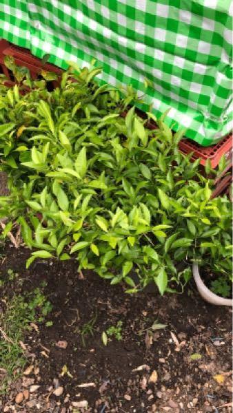 これはなんという植物ですか?