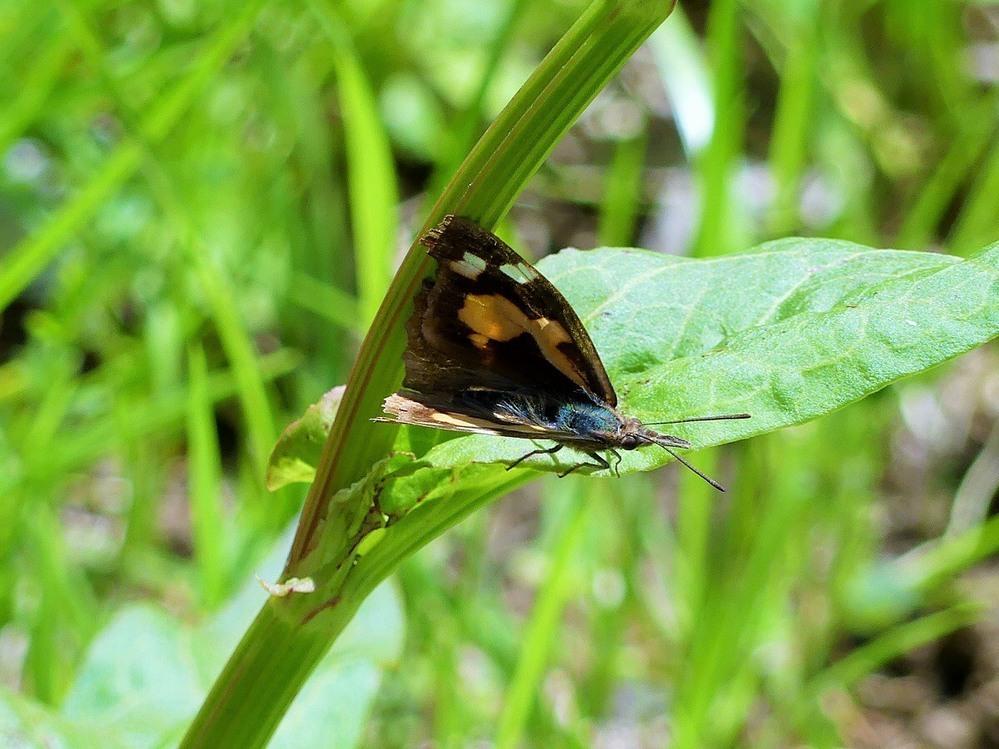 この蝶のような蛾のような虫は何ですか?