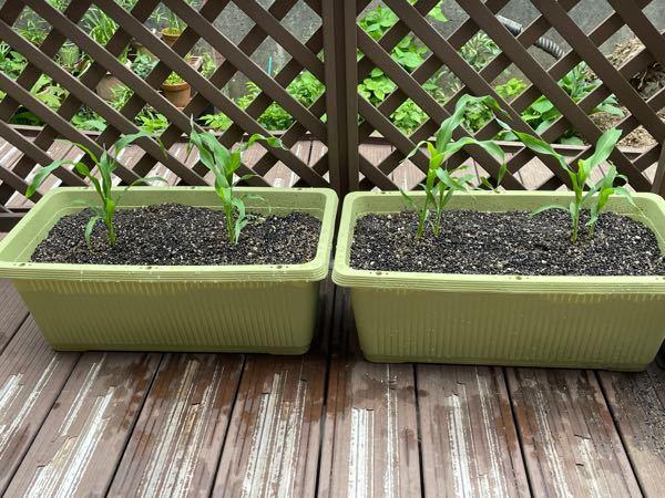 家庭菜園についてできるだけ急ぎで、詳しい方に質問です。今年家庭菜園初心者で、写真のように、トウモロコシを4株植えてみました。4月24日にプランターに定苗をし、明日大体2週間が経つので、追肥をしようと思って います。初心者なので、いつどのようなお手入れをしていいか、どのような点に、気をつけなければならない点などが分かりません。教えていただけると嬉しいです。(以前、同じような質問をさせていただいた時に、プランターが小さいという意見を頂いたのですが、これ以上でかいプランターを所持していなく、このプランターに定苗しました。今思ったのですが、1度掘り返して、もう一度もうちょっとはなした距離にいこと距離に植えた方がいいのでしょうか?しかし、私的に今掘り返すと生育に支障が出そうで心配なのですが、その点も含めて教えていただけると嬉しいです。)よろしくお願いします。