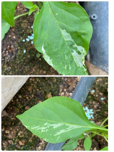 野菜の病気について質問です。 葉唐辛子を育てていてこのような葉に白っぽい透明?のようなものが出ました。 調べてもうどん粉病かハモグリしか出てこなく、その2つではないと思っています。 なんの病気の症状かわかる方がいらっしゃいましたら教えてください。