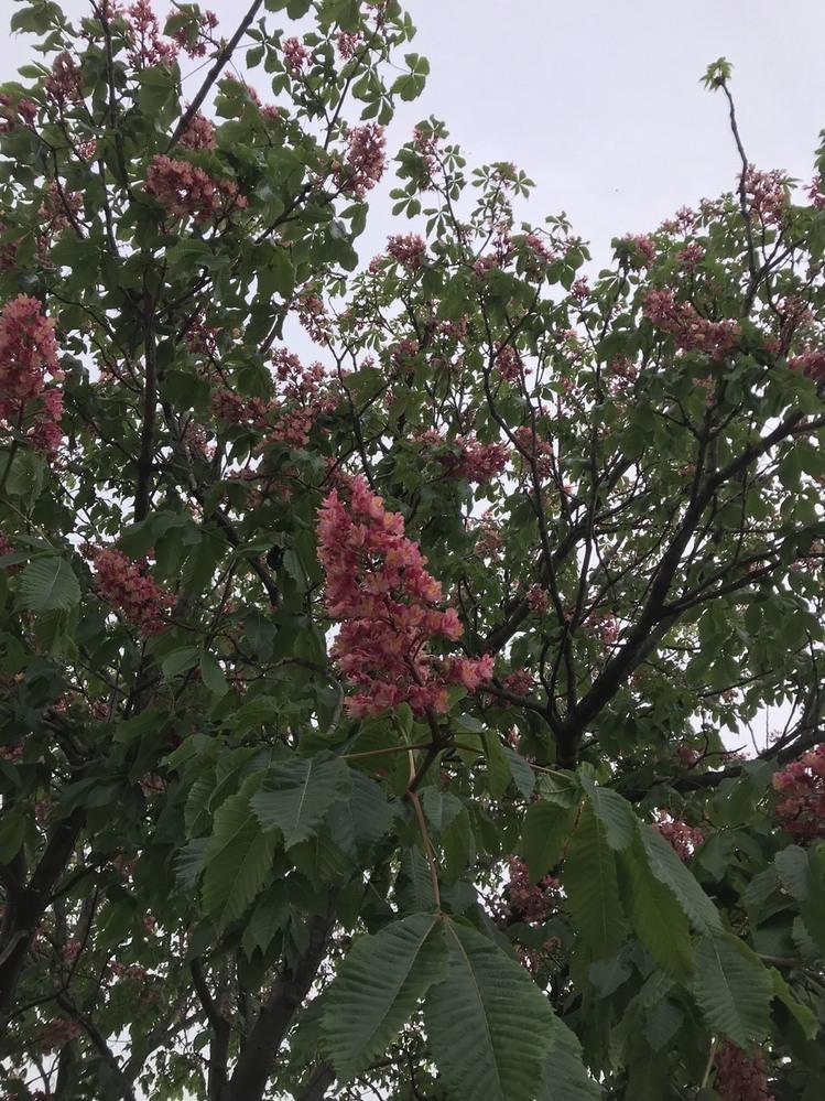 この花は何ですか? 柏葉アジサイのピンク?でしょうか?