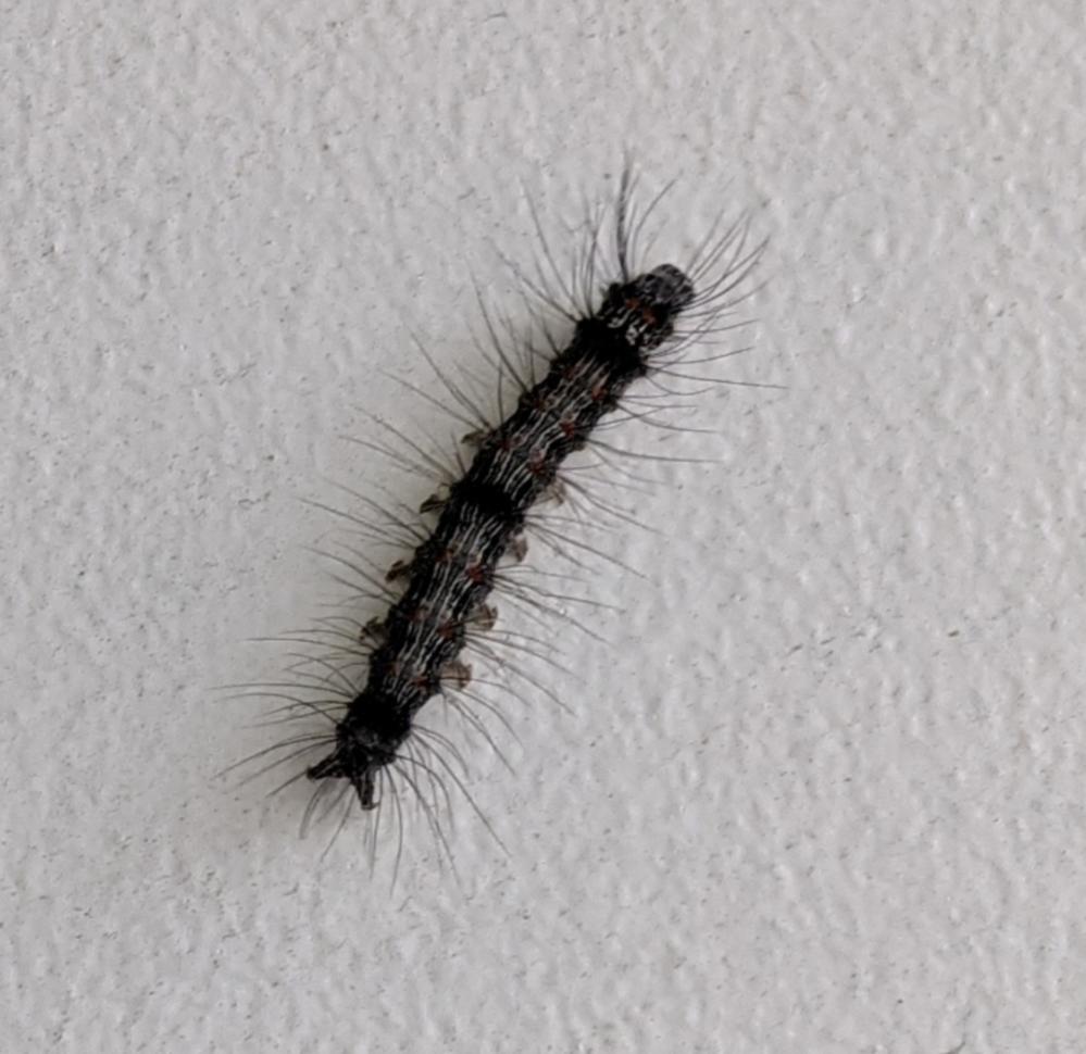 これは何の幼虫でしょうか? 都内、5月上旬に建物の壁を這っているのをみつけました。