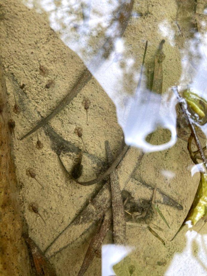 蛙(おたまじゃくし)の種類を教えて下さい 写真中央に1匹だけいる黒いのと、周りにたくさんいる透明で丸いのです