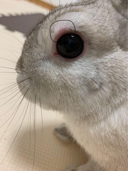 うさぎの目が赤いです 写真じゃ分かりにくいですが、少し腫れてます。病院に連れて行ったほうがいいですか?