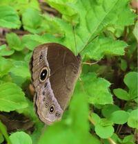 蝶の種類  写真のジャノメチョウについて 種類が分かる方、ご教示ください。  昨日福岡県で撮影したものです。