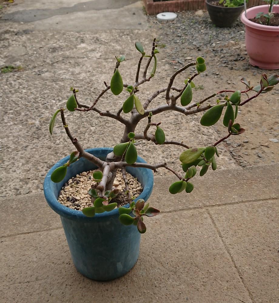 金のなる木の根が硬く茶色 になっていました。根腐れ 病ですかね? 治し方は?