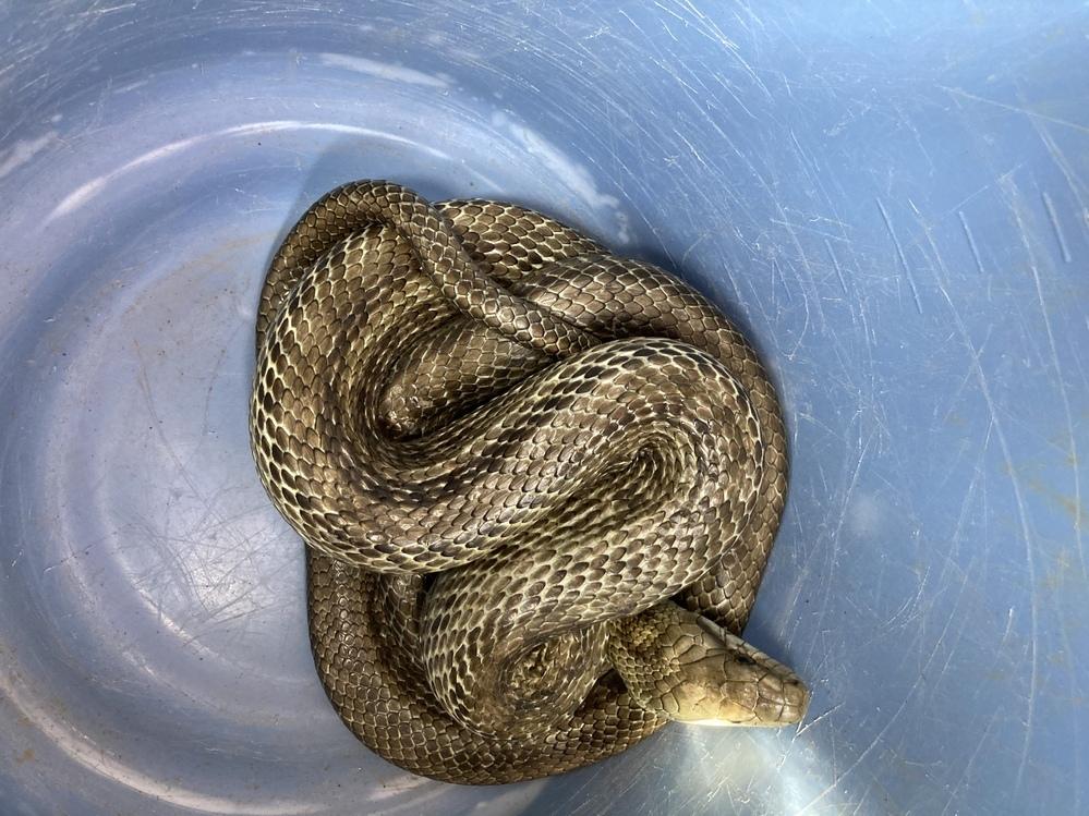 この蛇が庭にいました。アオダイショウですか?