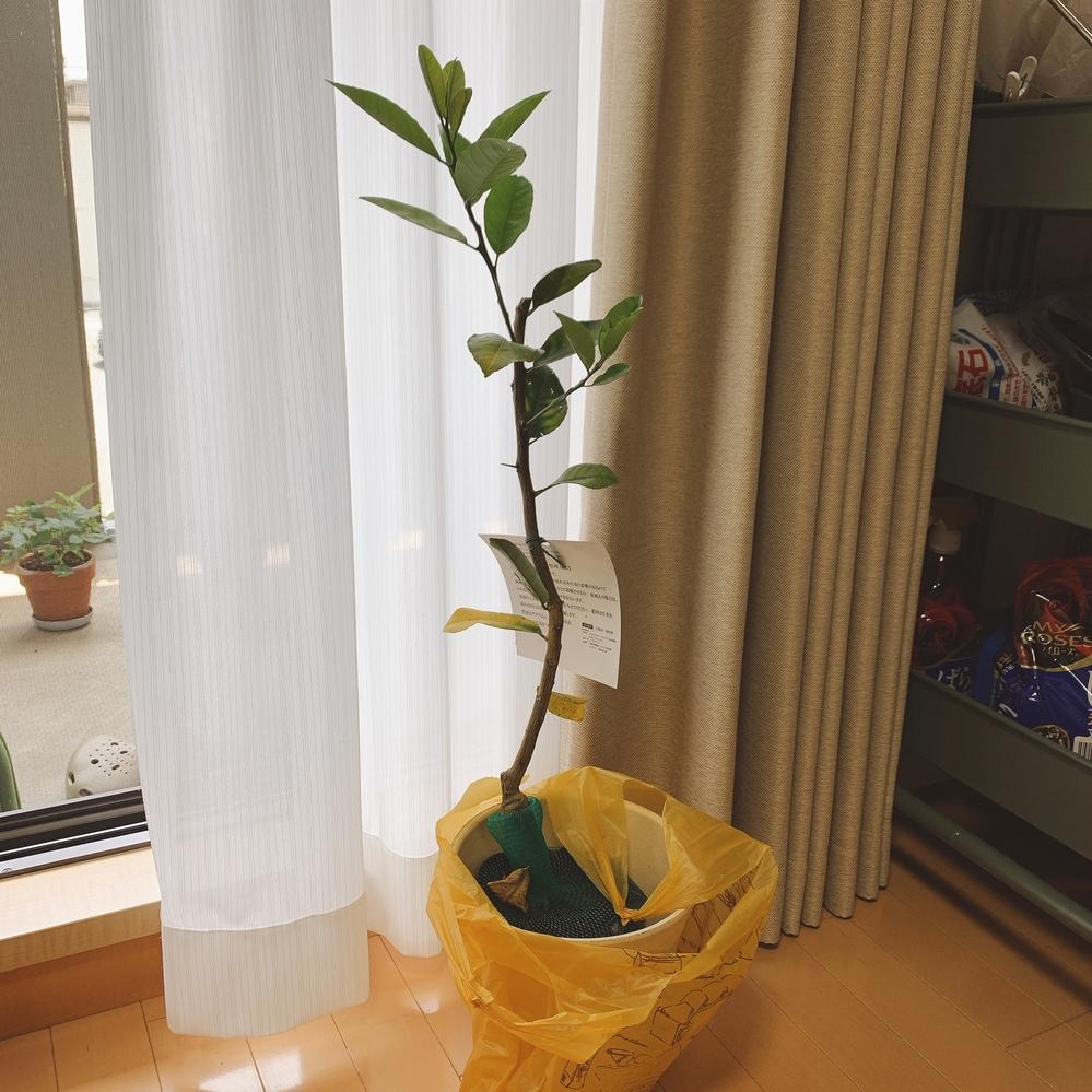 レモンの苗木の鉢植えについて教えてください。 先日ホームセンターにてレモン(おそらく5号ポット植え、品種はスイートレモン)の苗木を買ってきました。 南東向きのベランダで、あまり高さは出ないように鉢植えで少しずつ大きく育てていこうと思っています。 一回り以上大きな鉢に植えるとのことだったので一緒に長めの6号鉢も買って、植え付けを行おうと思っていろいろと調べたのですが、 植え付け時に切り戻すと書かれているサイトとそうではないサイトがありどちらがよいのか判断がつきませんでした。 下の方の葉は黄色くなっていますが、上の方から枝が2本生えているため、この枝を伸ばした方がいいのか、 それとも、下の方が枝がなくさみしいため、切り戻して下の方から枝が出てくるのを待った方がよいのでしょうか。 (希望の高さ、仕立てによって変えて良いものなのでしょうか?) 果樹らしい果樹を育てるのが初めてなので、教えていただけると幸いです。 よろしくお願いします。