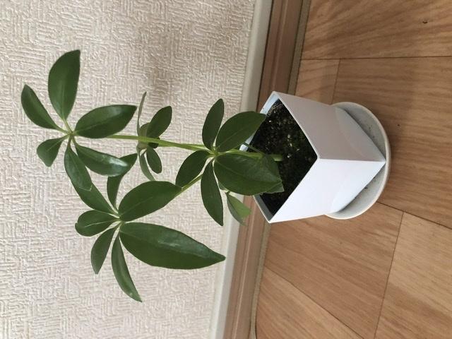 観葉植物をプレゼントされたのですが、名前がわかりません。 わかる方教えていただけると助かります。 よろしくお願いします。