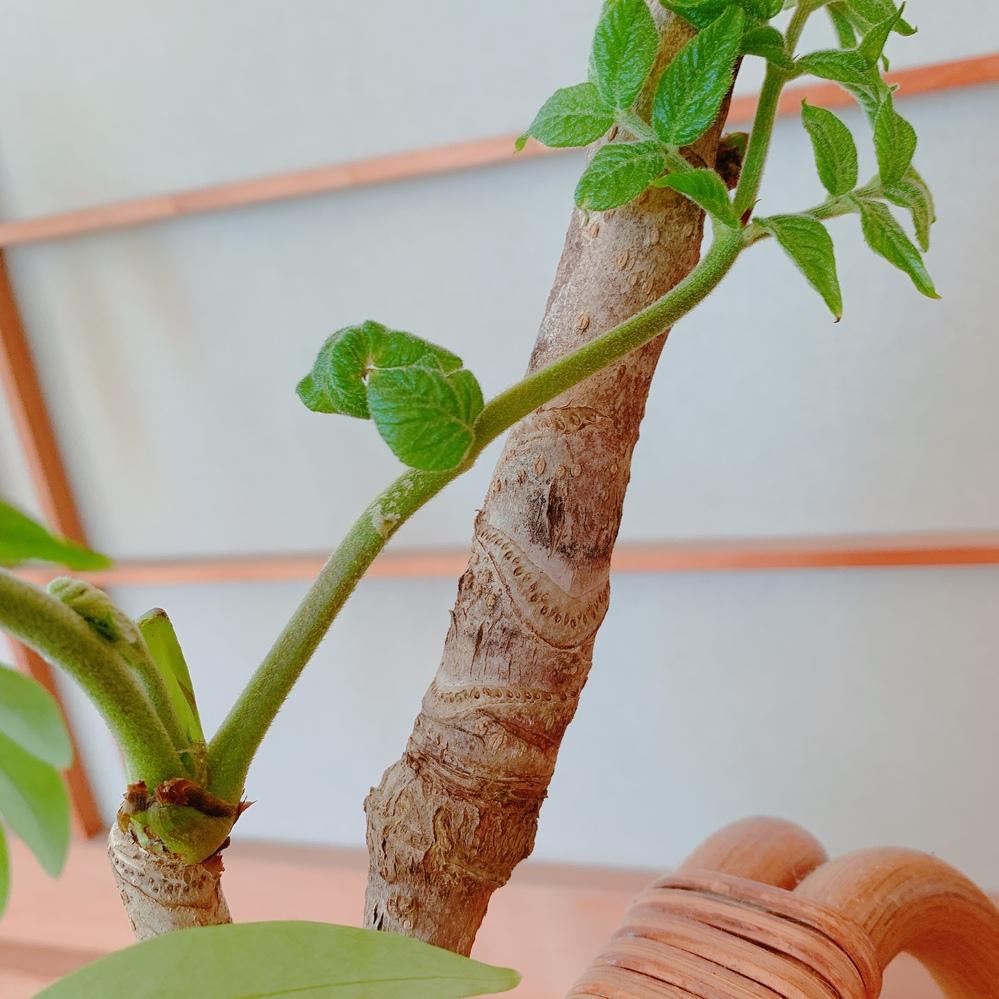 友人からタラの芽の枝を貰ったのですが、トゲがあまり無いため本当にタラの芽なのか不安で困っておりたす。 植物に詳しい方、教えて下さい。