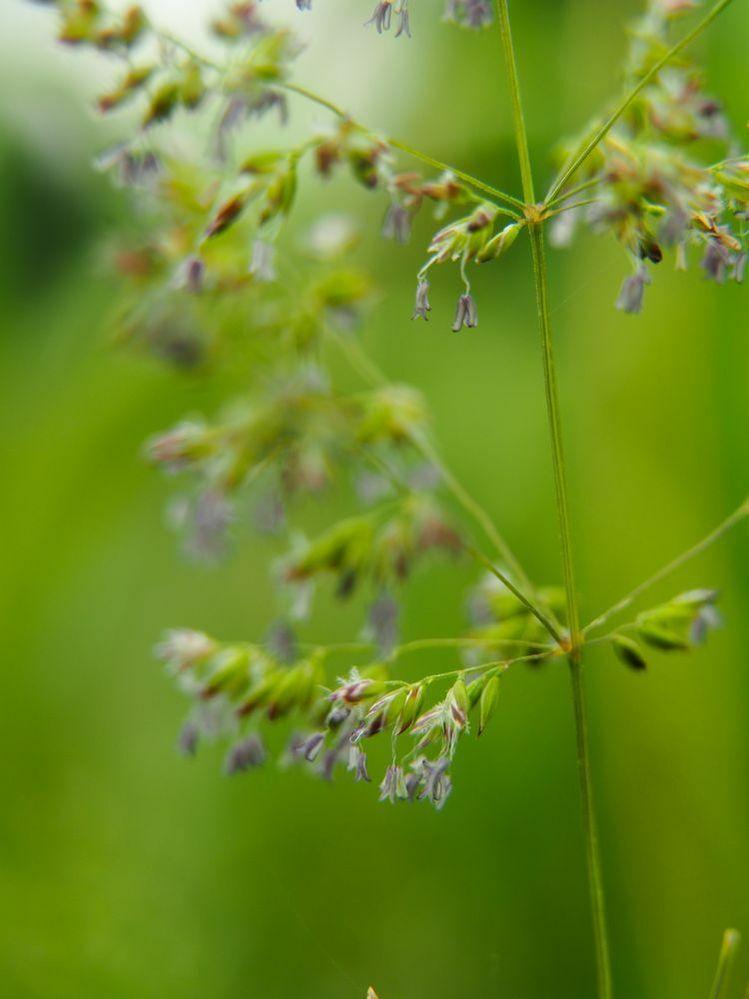 イネ科の植物ですが、何の花かおわかりになりますか? よろしくお願いします。