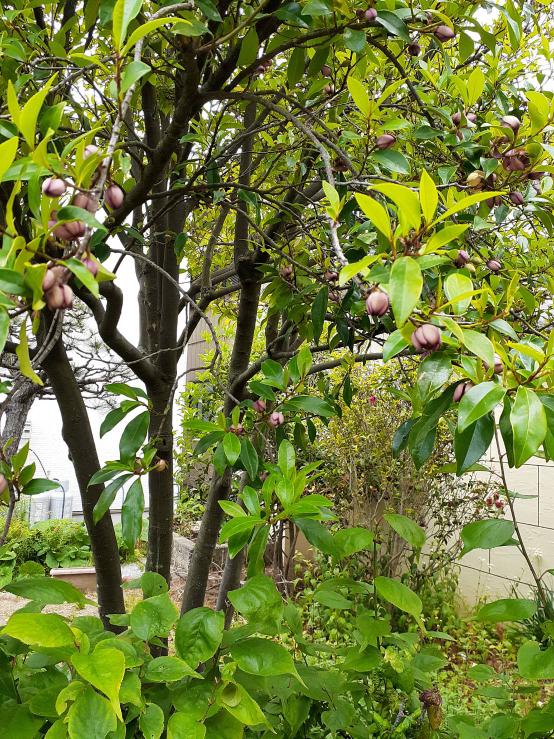 この木の実はなんでしょうか? ご存知の方教えて下さい。