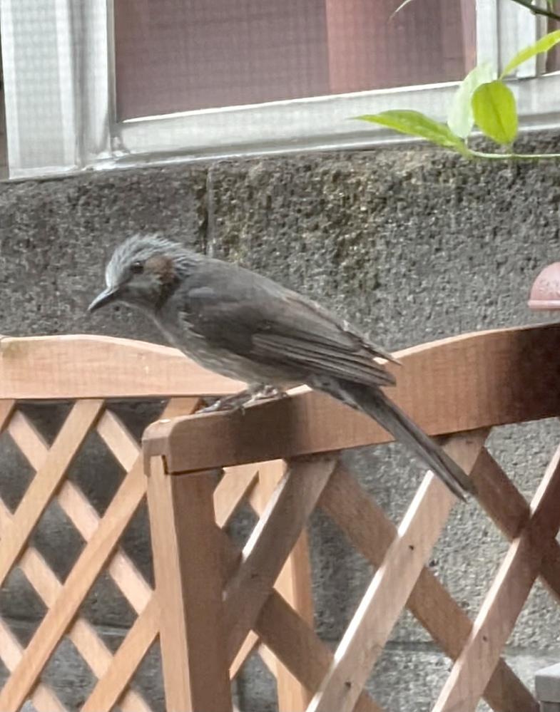 鳴き声がとてもかわいくて、目の前に止まったこの鳥はなんでしょうか? 目の横が茶色のようで検索すると、ヒヨドリと出ますが同じでしょうか??