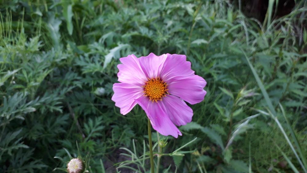 これはコスモスでしょうか? 春にも咲くのですか?
