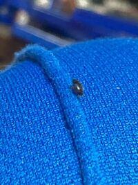 この虫はゴキブリでしょうか? 部屋に週1くらいのペースで1匹ずつ見つけるのですがゴキブリが卵産んでるんでしょうか??