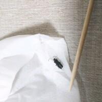 ※虫画像失礼いたします。 ・触覚がギザギザ ・ほぼ真っ黒、全く光沢なし ・手足は六本 ・ティッシュで取る際に潰してしまい少し身体部分が丸まっておりますが 頭部分、くびれ部分?、羽部分と3頭身  こちらの小さい虫は何の虫でしょうか? 詳しい方いらっしゃいましたら教えていただけますと幸いです。  色々と自分で調べたのですがヒラタムシ?カミキリムシ?ホタル?はたまたゴキブリ…?と良く分からず仕舞いです。