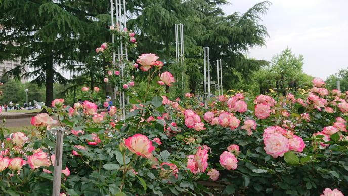 このバラは、プリンスドゥモナコという品種で合っていますでしょうか?