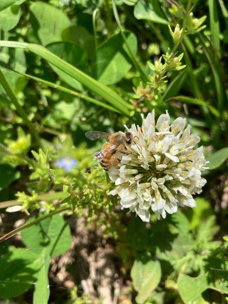 ニホンミツバチでしょうか? 白クローバーに数匹止まっていました。
