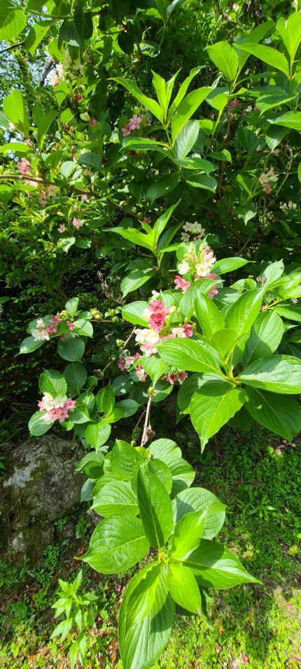 この花の名前わかりませんか?? 木みたいに大きくなっています。 挿し木で増やせるかもわかれば教えてください。