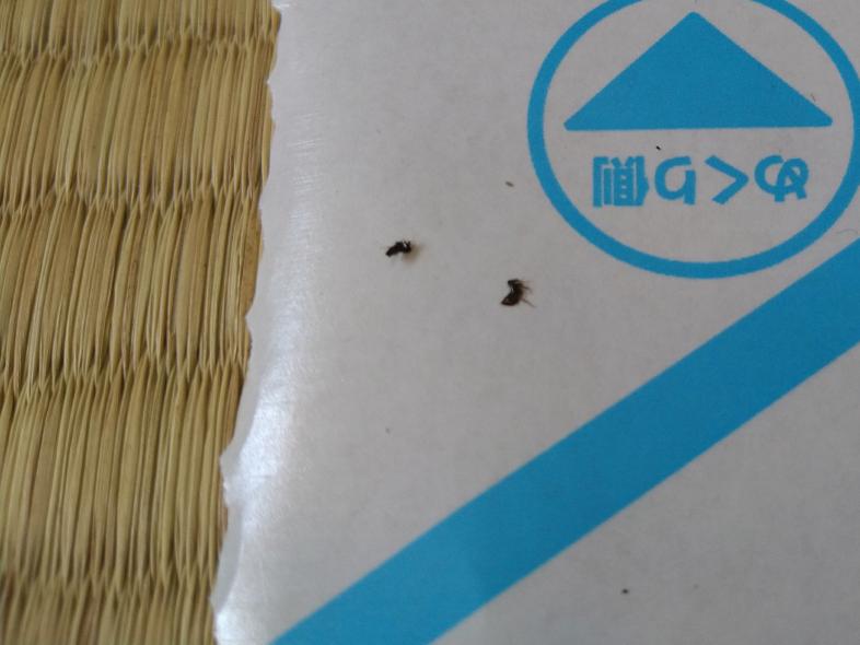 最近、小さな黒い虫が大量発生しています。 サイズは数ミリほどで、空は飛びませんが跳ね回るような動きをします。 調べたところトビムシが近いかなと思ったのですが、この虫はトビムシでしょうか? 違う虫でしょうか? マンションの4階に住んでいて、引っ越してきた当初はゴキブリが沢山いました。 ゴキブリの赤ちゃんだったりしますか?