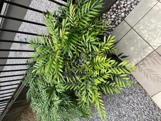 この植物の管理方法が知りたいです。 毎年、この時期になると勢いよく成長します。 丸坊主にして放置するとまた徐々に葉が出て来て春から夏にかけてどんどん成長するの繰り返しです。過去、手入れをサボっていたら綺麗な花が咲いていました。 一体いつごろ葉を刈るのが良いのか?どの程度刈るのが良いのか。刈るのは新しい枝か、古い枝か?どなたかお分かりになる方がいらっしゃいましたらご指導ください。 大きくなりすぎると邪魔ですが、丸坊主も何となくカッコ悪く、またせっかく花が咲くのであれば綺麗に咲かせてあげたいのですがなにぶん素人で困っております。 宜しくお願いします。