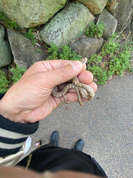 何蛇でしょうか? 関東地区です。