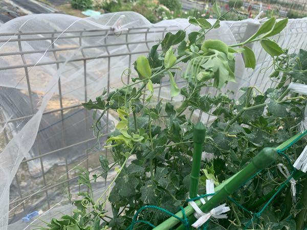 スナップエンドウを初めて栽培しました。 収穫のピークが終わったと思うのですが、写真のとおり上の方は新芽らしきものが伸びています。 追肥をして再び収穫が期待出来るのであれば手をかけようと思いますがさほど収穫出来ないのであれば次の野菜を植える準備をしたいと思います。 どなたか詳しい方お教えいただきたいです。