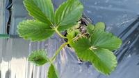 イチゴを地植えし3日くらいで葉に黒い柄が出来たのですが、何かの病気でしょうか? 環境の影響でしょうか? こちら北海道で朝は最近5度くらいまで下がり、日中は20度を超えてます。