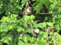 これは何?カラスウリの朽ちたものかと思って撮ったら、違ってました。  植物ではなく、昆虫の卵か? 撮影日 2021-05-10 撮影地 利根川河川敷
