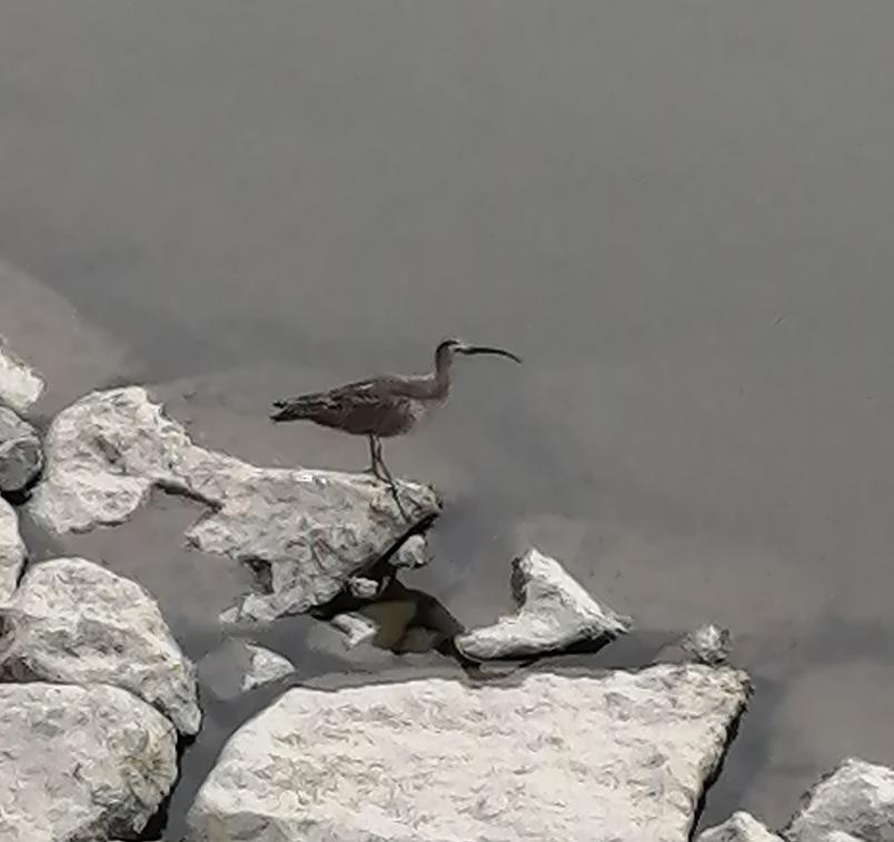 この鳥の名前を教えてください。 毎日土手沿いをウォーキングしております。 川に沢山の鳥がいるんですが、このくちばしの長いとりは何ていう鳥なんでしょうか? 教えてください。